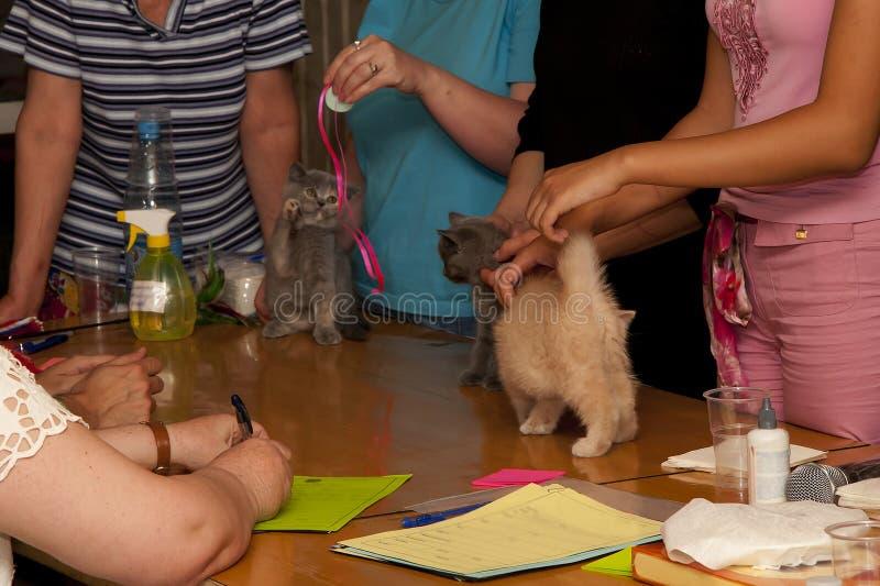 Petits chatons britanniques bleus et crèmes à l'exposition sur la table à l'expert photographie stock