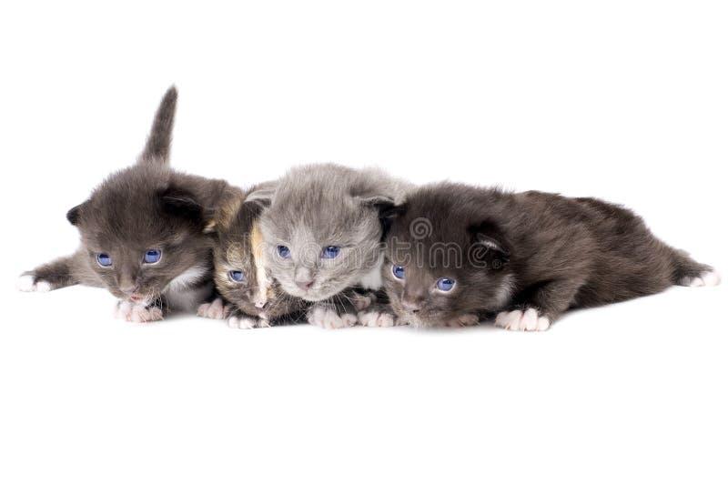 Petits chatons pelucheux photo libre de droits