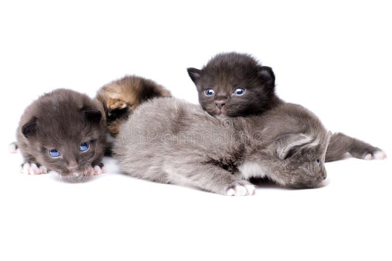 Petits chatons pelucheux photographie stock libre de droits