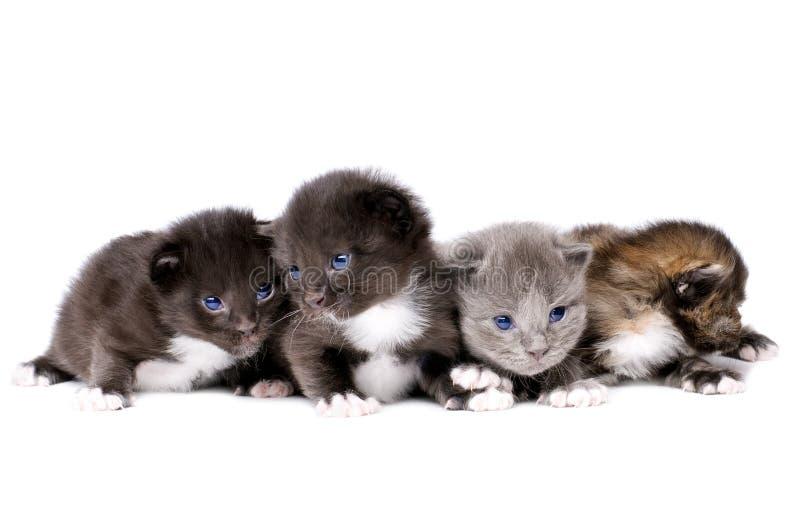 Petits chatons pelucheux photos stock