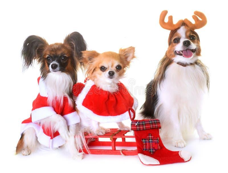 Petits chiens et Noël photos libres de droits