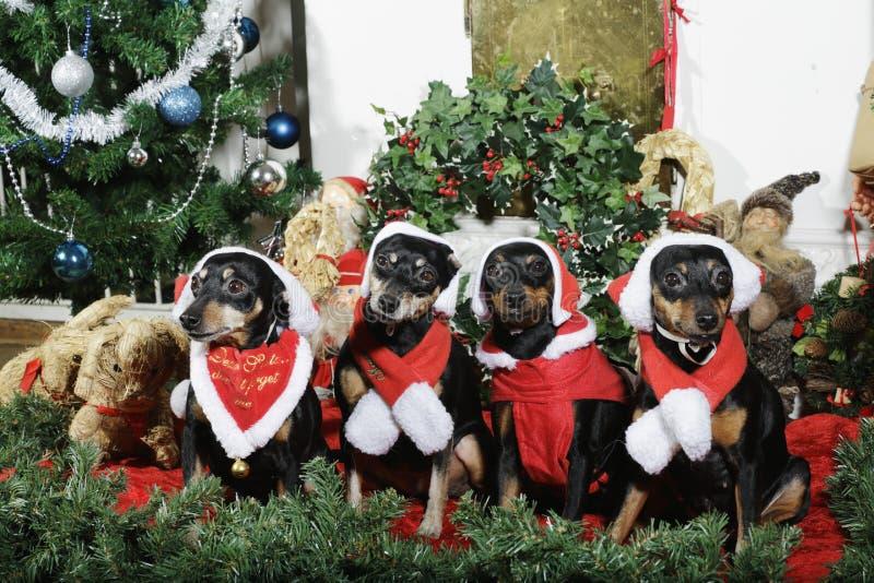 Petits chiens habillés comme Noël de père avec des salutations images stock