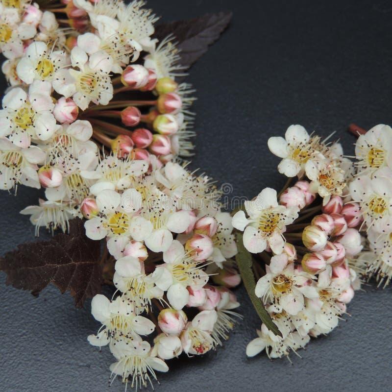 Petits fleurs blanches et bourgeons dans le jardin sur un fond noir photos stock