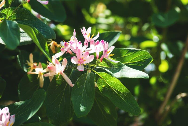 Petits fleurs et bourgeons rose-clair sur fleurir le jardin à feuilles caduques d'arbustes au printemps image stock