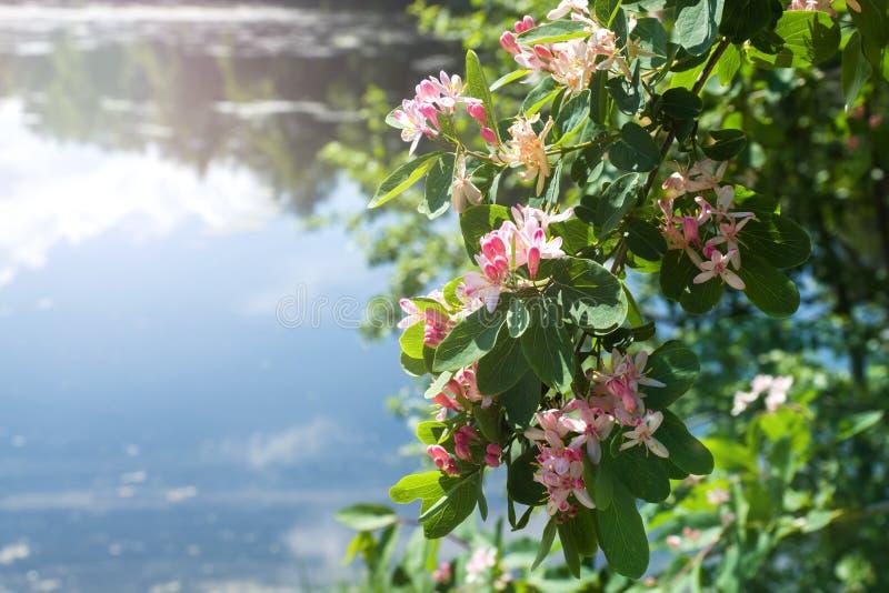 Petits fleurs et bourgeons rose-clair sur les buissons sur la berge photos libres de droits