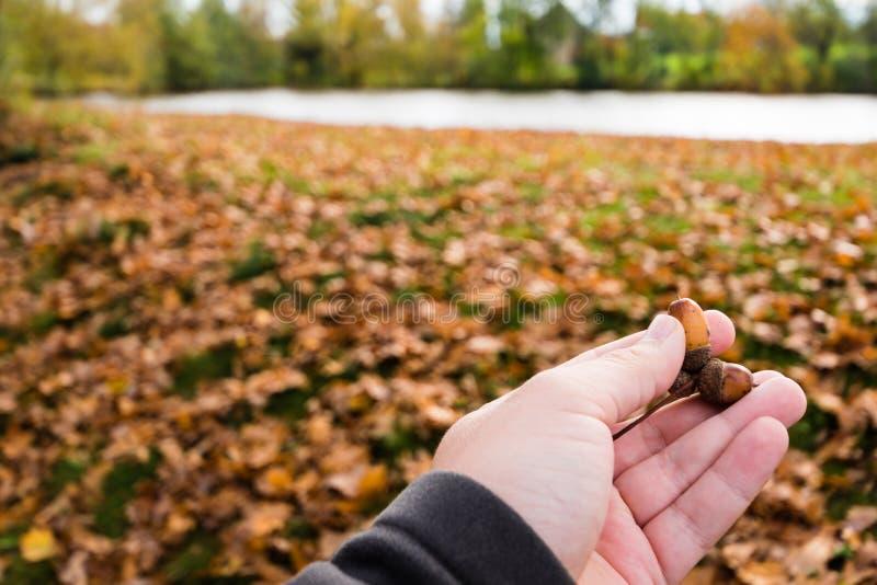 Petits glands à disposition Feuilles et étang d'automne de Brown sur le fond photo libre de droits