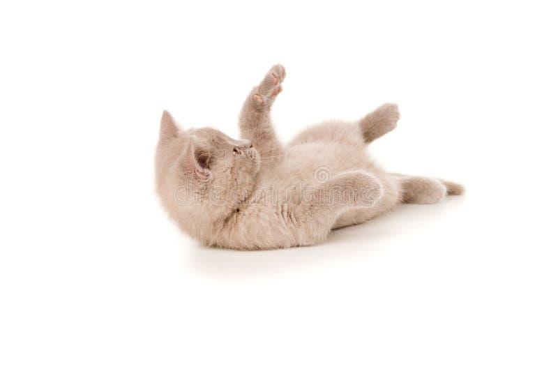 Petits jeux britanniques de race de chaton photo stock image du isolement amour 32099290 - Jeux de petit chaton gratuit ...