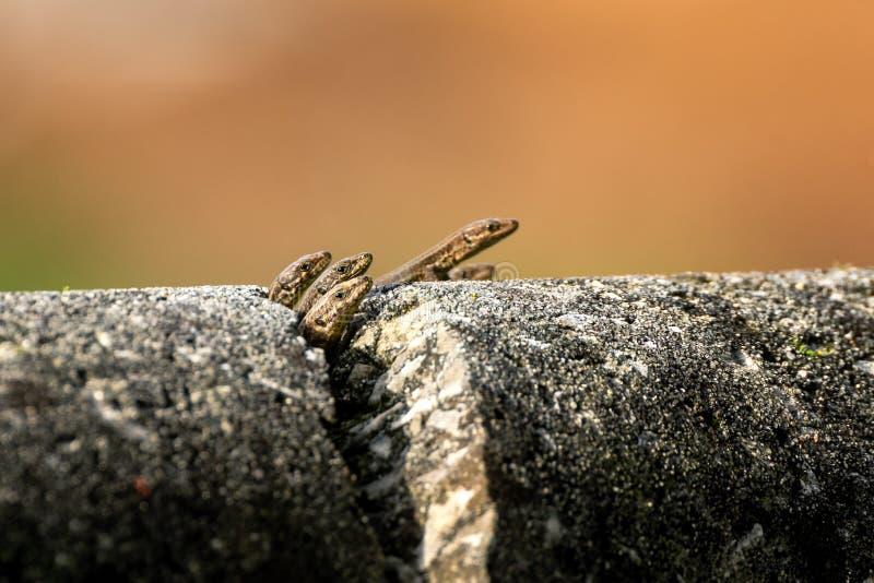 Petits lézards sur un mur en pierre criqué photos stock