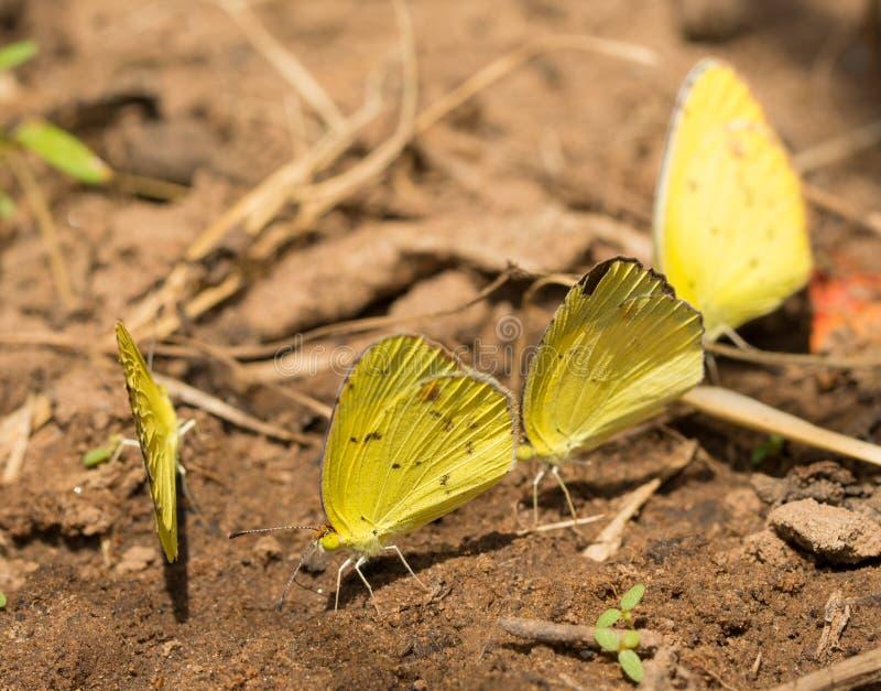 Petits papillons jaunes malaxants photographie stock libre de droits
