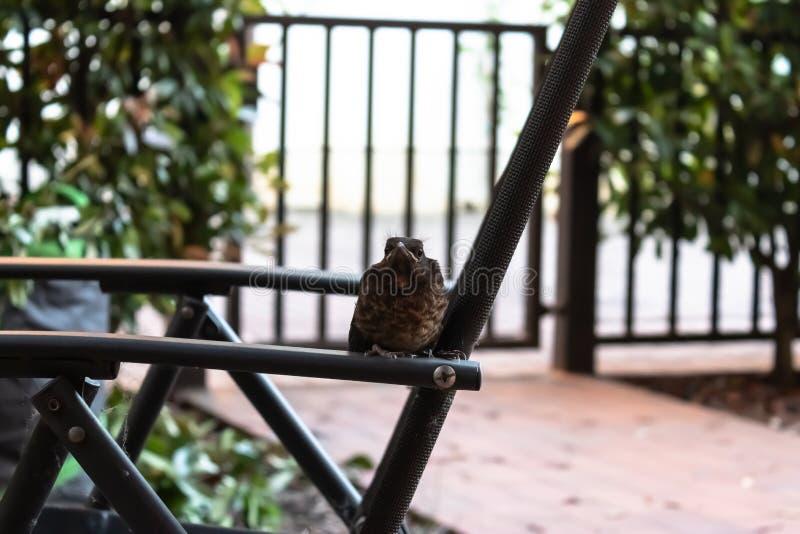 Petits philomelos de Turdus de grive de chanson sur la chaise dans le jardin, oiseau se reposant sur la chaise - image images libres de droits