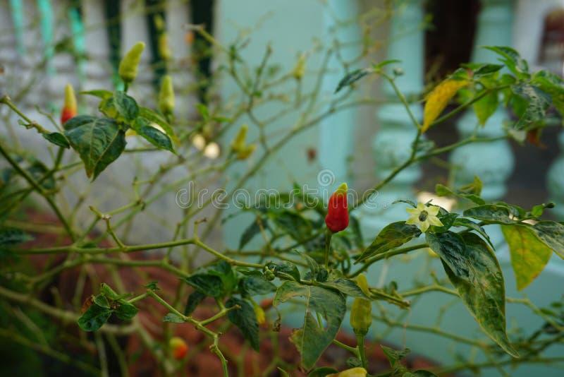 Petits piment/poivre de Cayenne rouges, jaunes, verts image stock