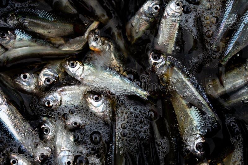 Petits poissons argentés dans une peu d'eau avec quelques bulles photographie stock libre de droits