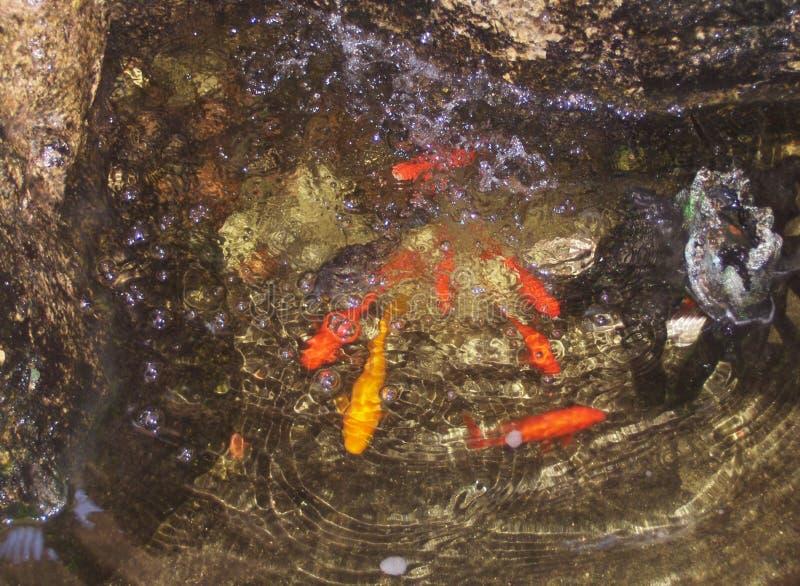 Petits poissons dans l'eau claire claire parmi les pierres colorées image stock