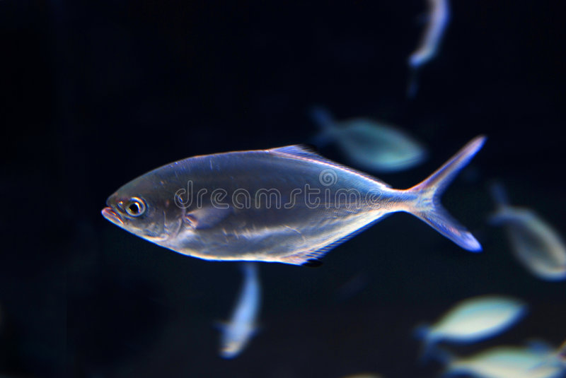 Petits poissons rougeoyants photographie stock