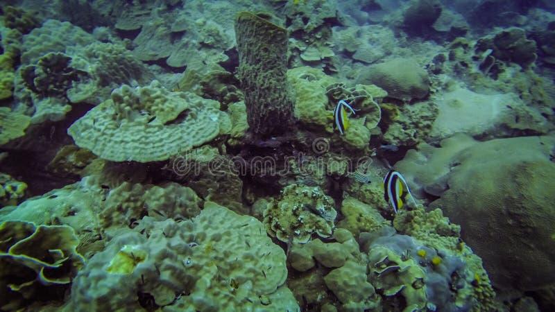 Petits poissons tropicaux au récif coralien photo libre de droits