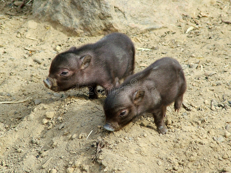 Petits porcs image libre de droits