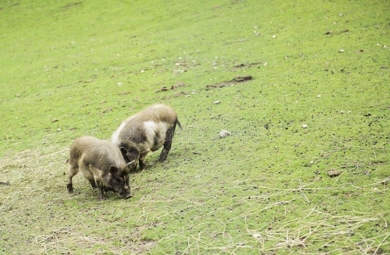 Petits porcs de duo avec l'alimentation sur un pré photos stock