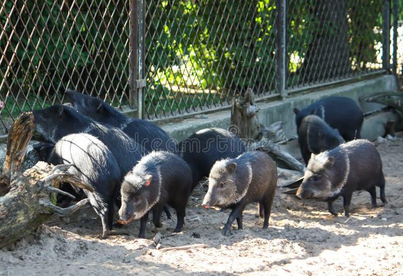 Petits porcs noirs fonctionnant sur le sable dans le zoo image stock