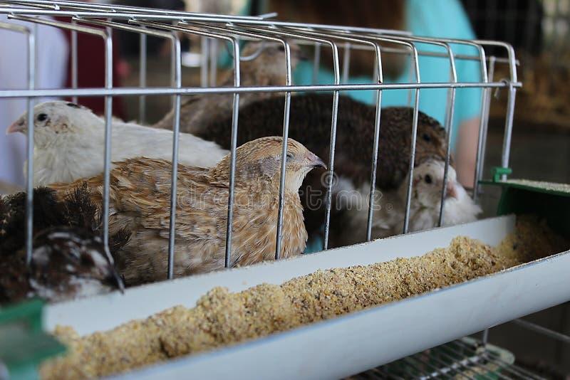 Petits poulets dans une cage images libres de droits