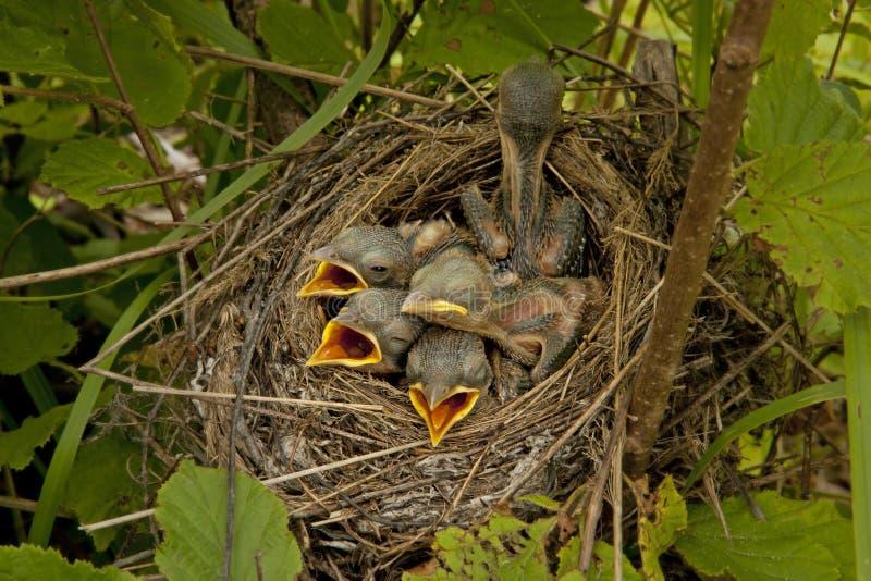 Petits poussins dans le nid image libre de droits