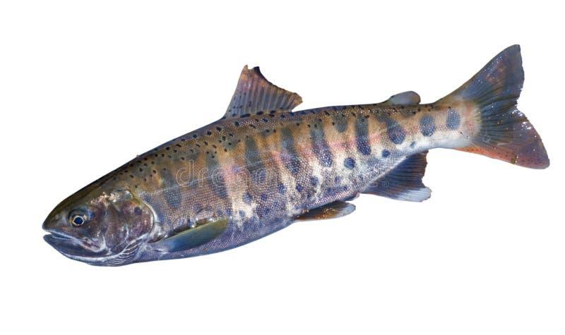 Petits saumons 1 photos libres de droits