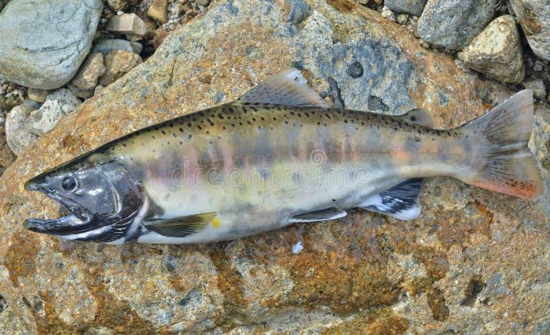 Petits saumons 14 image libre de droits