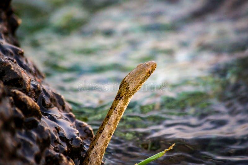 Petits serpents bruns photo stock