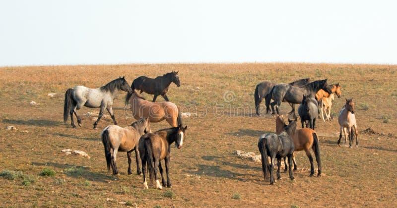 Petits troupeaux - les bandes des chevaux sauvages sur le flanc de coteau chez le cheval sauvage de montagnes de Pryor s'étendent images stock