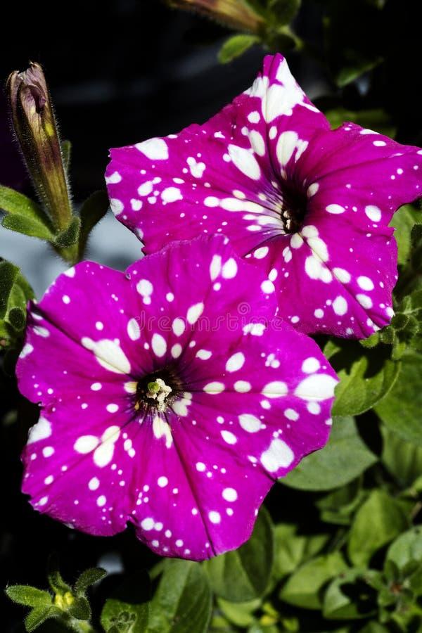 Petounia purpury kwitn? z bia?? dzikiego kwiatu t?a sztuk? pi?kn? w wysokiej jako?ci druk?w produktach Canon 5DS - 50,6 Megapixel zdjęcia royalty free