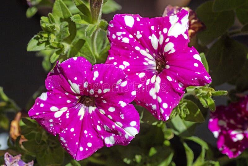 Petounia purpury kwitn? z bia?? dzikiego kwiatu t?a sztuk? pi?kn? w wysokiej jako?ci druk?w produktach Canon 5DS - 50,6 Megapixel fotografia royalty free