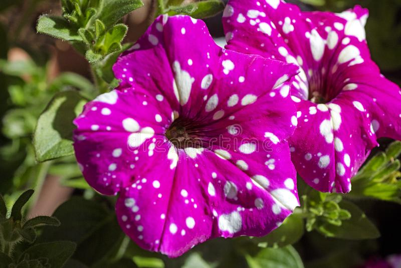 Petounia purpury kwitn? z bia?? dzikiego kwiatu t?a sztuk? pi?kn? w wysokiej jako?ci druk?w produktach Canon 5DS - 50,6 Megapixel obrazy royalty free