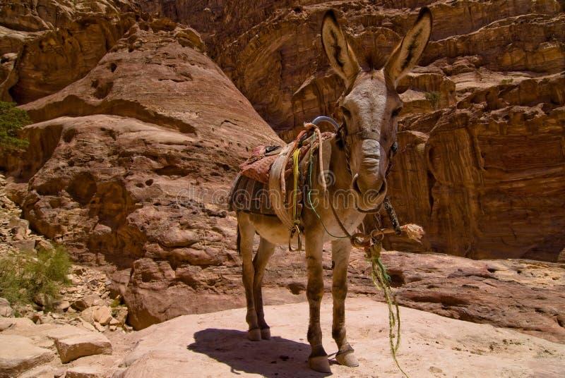 Petra Donkey royalty free stock photos