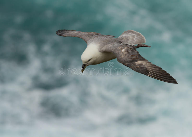 Petrel do norte (glacialis do Fulmarus) imagem de stock royalty free
