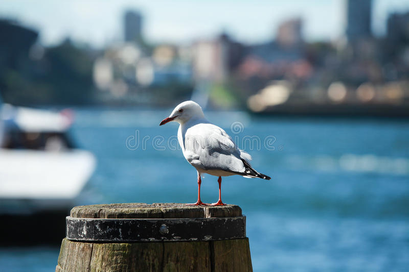 Petrel at Sydney harbor stock images