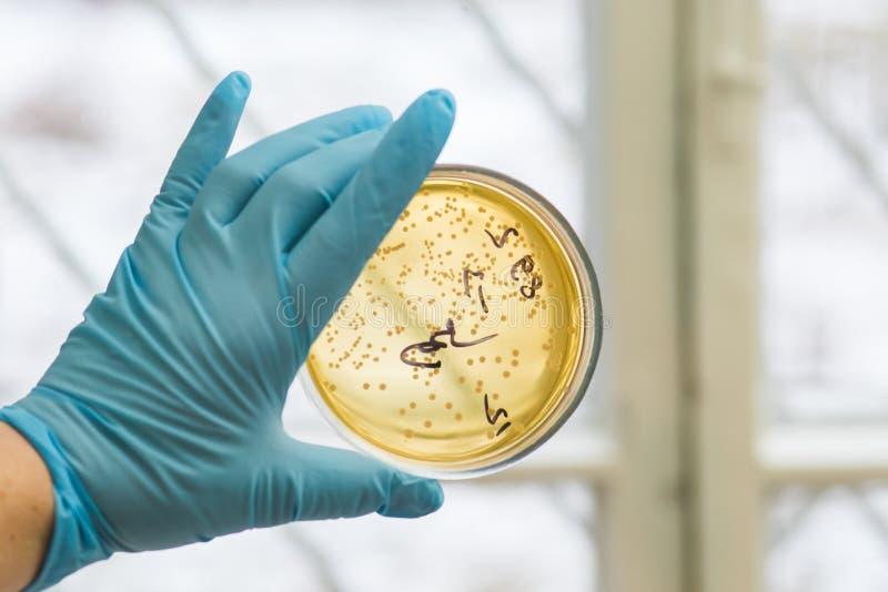 Petri πιάτο με την ανάπτυξη των βακτηριδίων στοκ φωτογραφίες