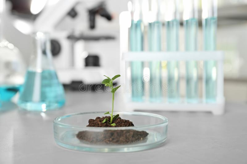 Petri dish with green sprout in laboratory stock photography