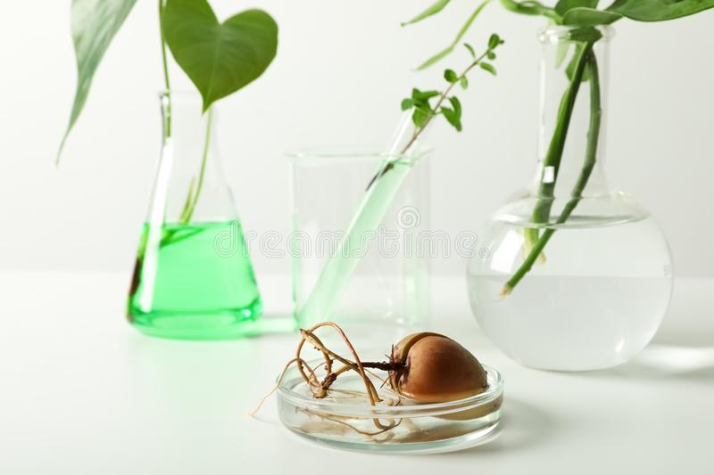 Petri dish with sprouted avocado seed and blurred laboratory glassware on background. Chemistry concept royalty free stock photos