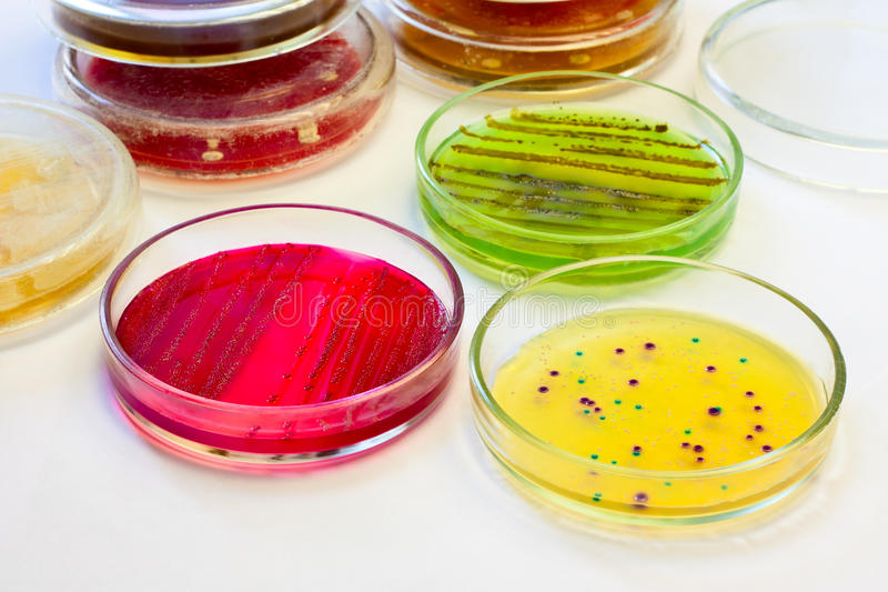 Petri dishes with bacterial colonies royalty free stock photos
