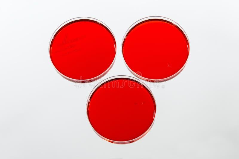 Petri Dishes die met Rode Agar-agar Clutures kweken stock afbeelding