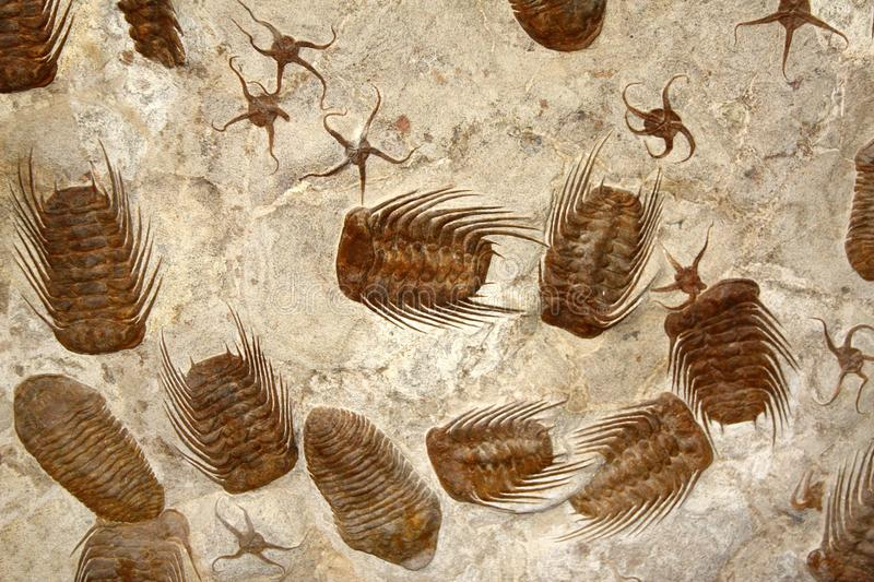 Petrified fossil starfishes and trilobites stock photos