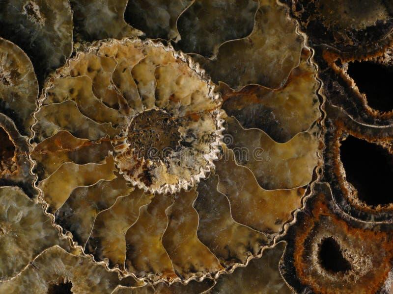 Petrified nautilus royalty free stock photo
