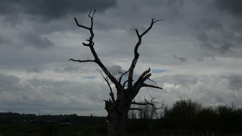 Petrified Oak Tree Reaching to the Sky. Petrified Oak Trees reaching to the sky, black and white photo, sky dark grey and cloudy royalty free stock image