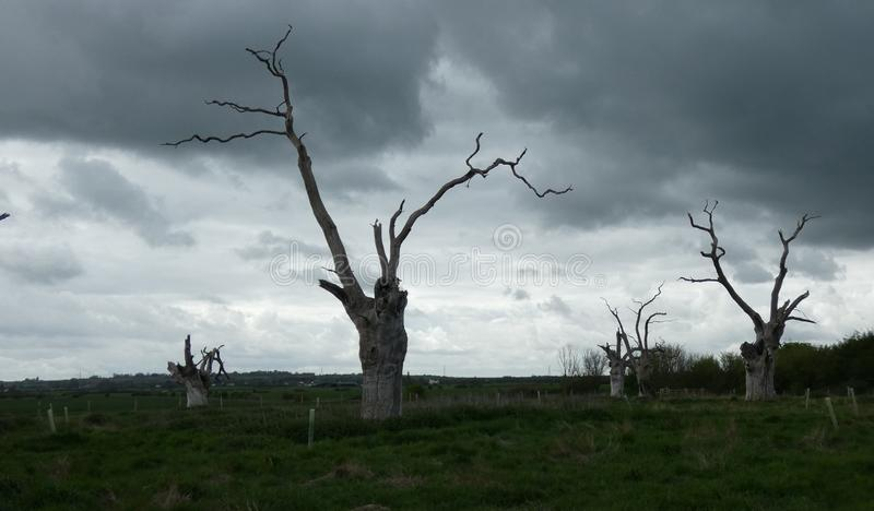 Petrified Oak Trees Reaching to the Sky. In a flat field in Essex royalty free stock image