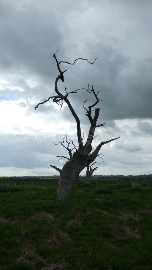 Petrified Oak Tree Reaching to the Sky. Standing in a field in Essex royalty free stock images