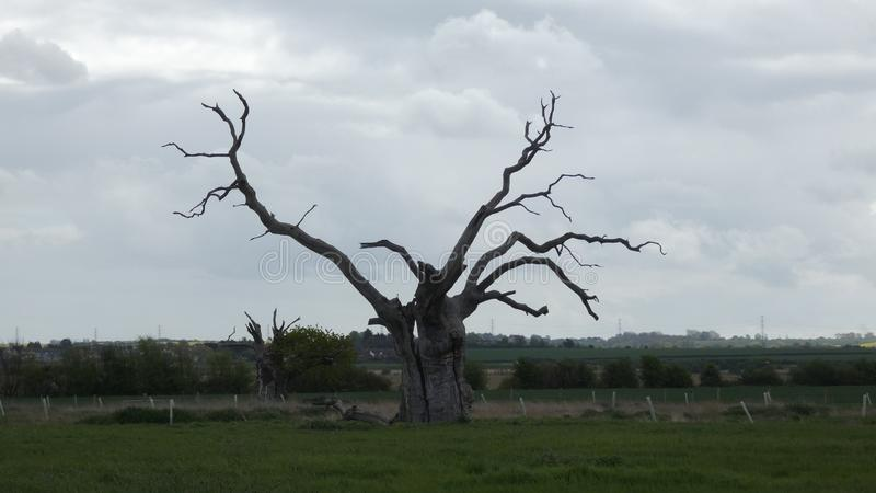 Petrified Oak Trees Reaching to the Sky. In a field in Essex royalty free stock photography