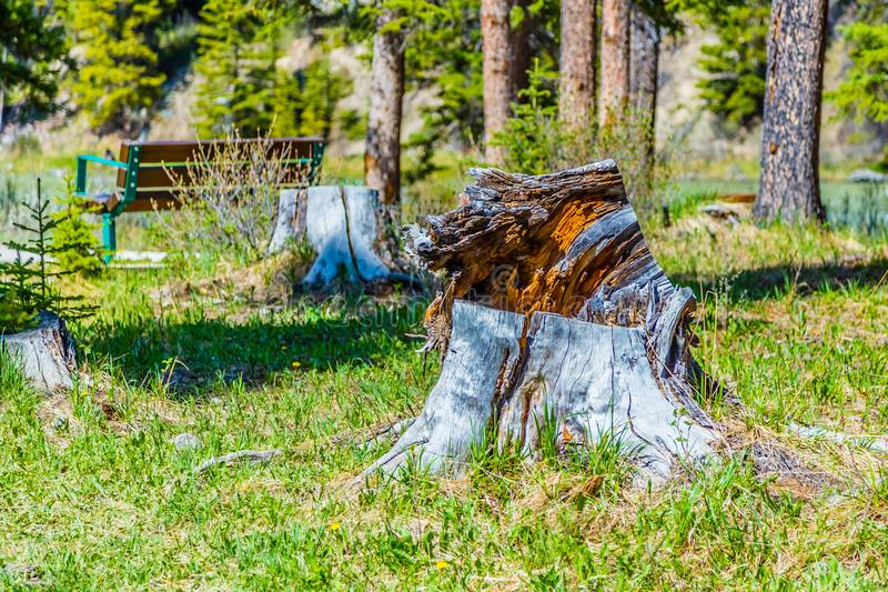 A petrified tree stump in Banff National Park stock images