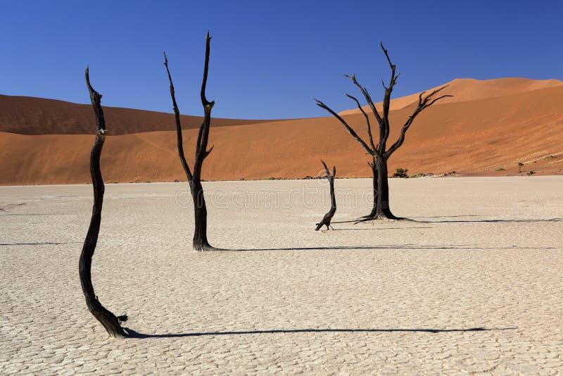 Petrified trees in the desert. Petrified trees at deadvlei. Namibian desert stock image