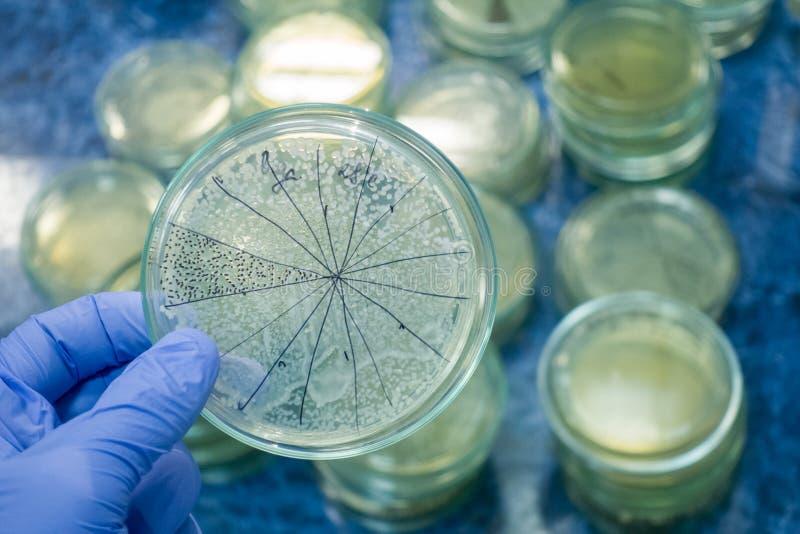 Petrischale wird für Analyse von Bakterien hervorgehoben stockfotografie