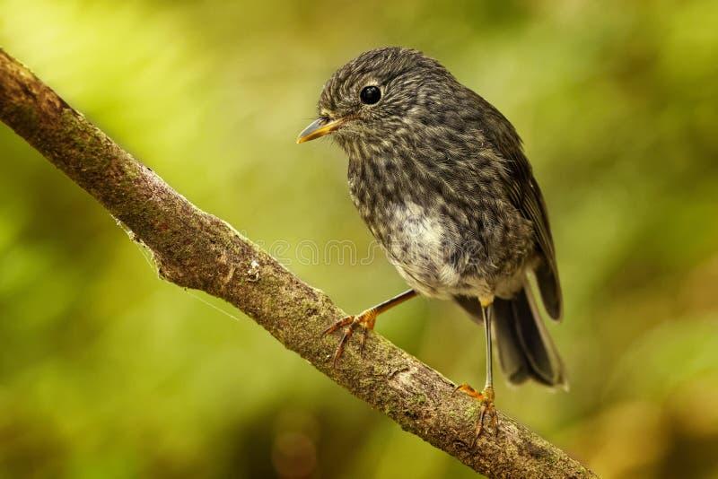 Petroica longipes - het Noordeneiland Robin - toutouwai - endemische bos de vogelzitting van Nieuw Zeeland op de tak in het bos stock afbeeldingen