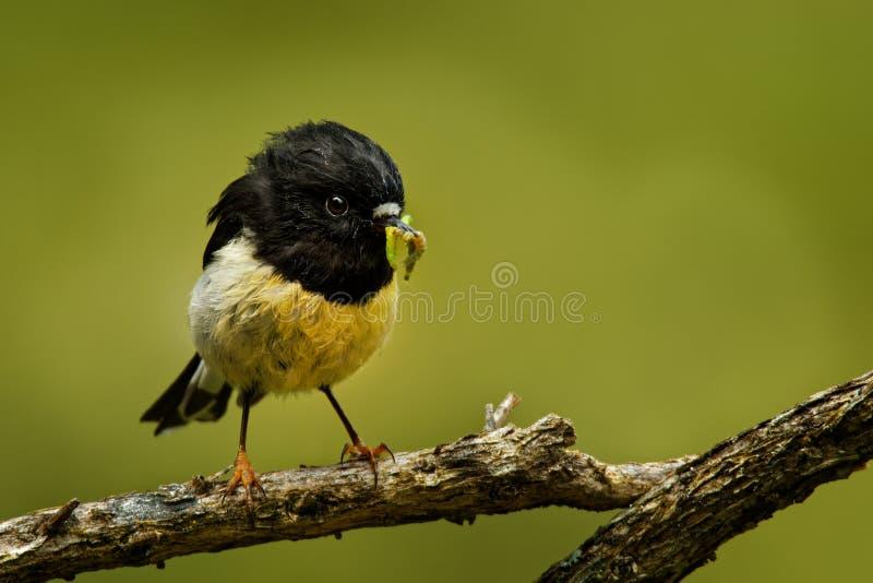 Petroica macrocephala macrocephala -南岛Tomtit - miromiro地方性新西兰森林鸟坐在f的分支 库存图片